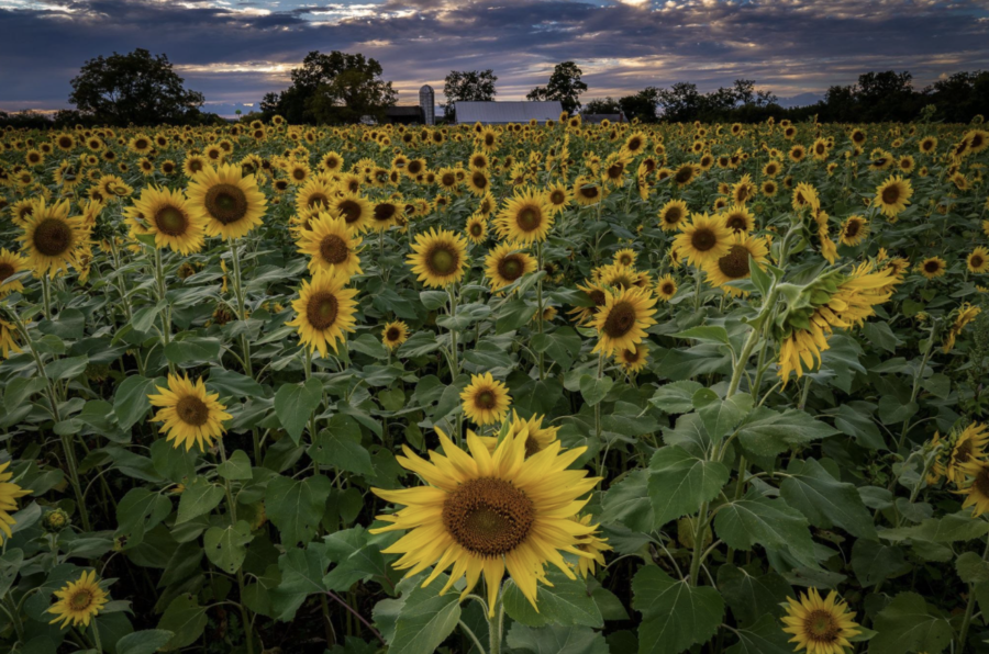 A view of the sunflowers on part of the 122-acre farm.